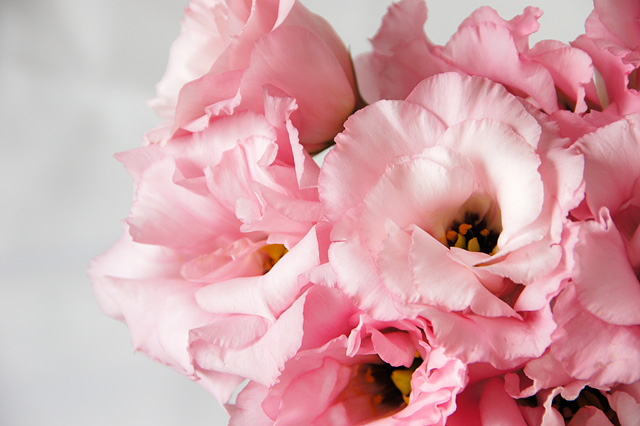 バラに似ているトルコキキョウ